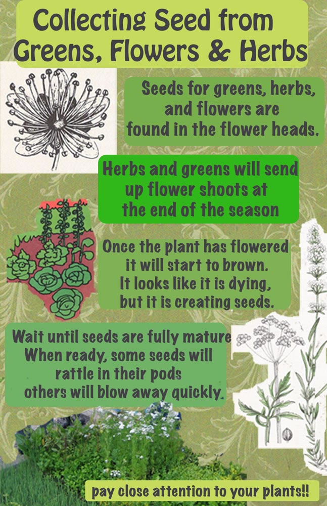 how-to-save-seeds-from-greens-flowers-herbs