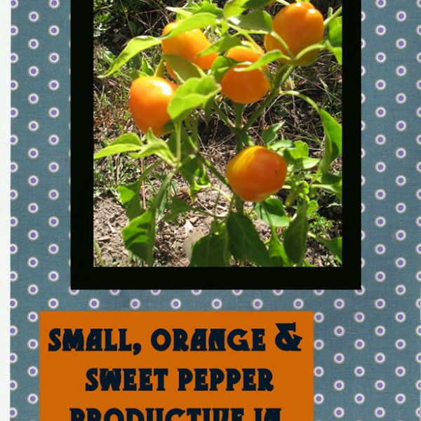 Mini Orange Bell Pepper Seed Packet