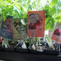 urbantomato seedlings